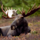a_known_moose